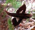 Pantodon wings.jpg