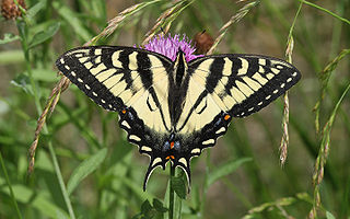 <i>Papilio canadensis</i> species of insect