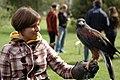 Parabuteo unicinctus -falconry show-8a.jpg