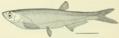 Parapelecus machaerius Abbot 1901 (=Pseudolaubuca sinensis Bleeker 1864).png