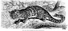 Le chat marbré est caractérisé par son pelage tacheté et sa très longue queue.
