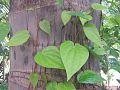 Parn leafs.jpg