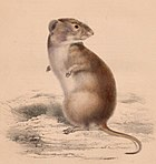 Brants's whistling rat
