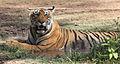 Parque nacional Ranthambore. Rajasthan. Tigre salvaje.jpg