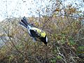 Parus major in ringing net of Landsort Bird Observarory-4.JPG
