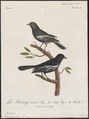 Parus niger - 1796-1808 - Print - Iconographia Zoologica - Special Collections University of Amsterdam - UBA01 IZ16100161.tif