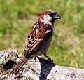 Passer domesticus -Scotland -male-8b.jpg