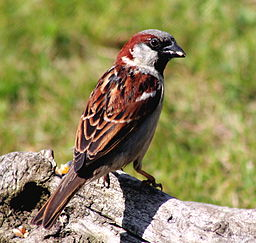 Passer domesticus -Scotland -male-8b