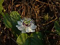 Passiflora foetida (3259751371).jpg