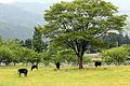 Pasture in TajimaBokujyo.jpg