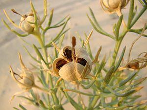 Dehiscence (botany) - Image: Peganum harmala Baikonur 09