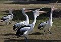 Pelicans feeding Clontarf Boat Ramp-5 (6061166177).jpg
