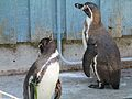 Penguin at Marwell Zoo.jpg