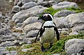 Penguin colony in Hermanus 19.jpg