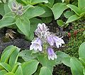 Penstemon frutescens01.jpg