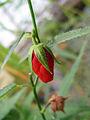 Pentapetes phoenicia 3.jpg