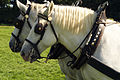 Percherons attelés mondial du cheval percheron 2011Cl J Weber06 (23456669273).jpg