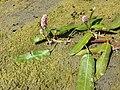 Persicaria amphibia sl24.jpg