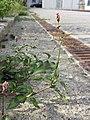 Persicaria maculosa sl4.jpg