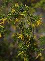 Persoonia terminalis ssp recurva, Australian National Botanic Garden, Canberra, ACT, 23-12-14 (16731755955).jpg