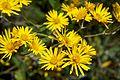 Peru - Machu Picchu 047 - bright wildflowers (7181904509).jpg