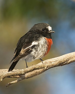 Male Scarlet Robin (Petroica boodang) in the M...
