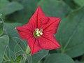 Petunia exserta by Scott Zona - 004 (1).jpg
