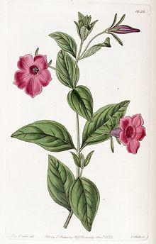 Petunia integrifolia wikipedia petunia integrifolia ccuart Choice Image