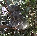Phascolarctos cinereus NSW.jpg