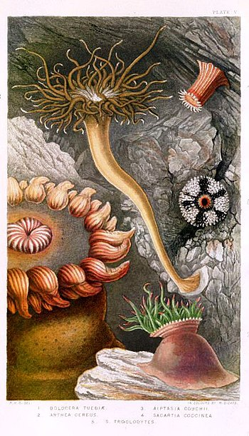 "Plate V in ""British Sea-Anemone and Coral..."