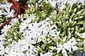 Phlox subulata Snowflake 3zz.jpg
