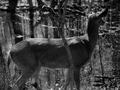 Photograph of Deer - NARA - 2129380.tif