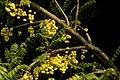 Phyllanthus acidus fruits JEG9355 a.jpg