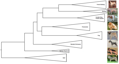 Phylogenetic tree of dogs.png