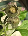 Physochlaina orientalis, interior fruiting calyx, mature operculum.jpg
