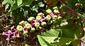 Phytolacca acinosa. American Pokerweed. Phytolaccaceae - Flickr - gailhampshire (2).jpg