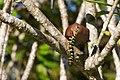 Piaya cayana -Belize -eating a caterpillar-8.jpg