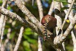 Piaya cayana -Belize -eating a caterpillar-8.jpg