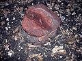 Picea abies mistreated with Glyphosate 2.jpg