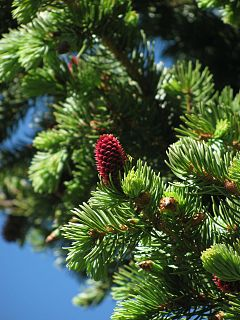 240px picea pungens foliage pecos wilderness