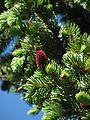 Picea pungens foliage Pecos Wilderness.jpg