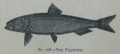Picture Natural History - No 208 - The Pilchard.png