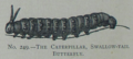 Picture Natural History - No 249 - The Caterpillar, Swallow-tail Butterfly.png