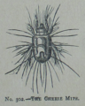 Picture Natural History - No 302 - The Cheese Mite.png
