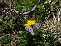 Pieris bryoniae CF9A7647.jpg