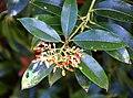 Pieris formosa in Dunedin Botanic Garden 04.jpg