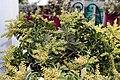 Pieris japonica Sarabande 3zz.jpg