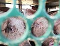Pigs in a slaughter truck 5.jpg