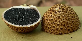 "Gleba - The gleba of the ""common earthball"" (Scleroderma citrinum) has a dark color."