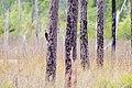 Pileated woodpecker (27743292258).jpg